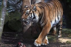 Cumbria Tiger attack: Sarah McClay dies of her injuries