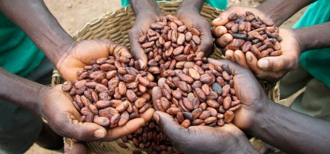 Cocoa price hike benefits Ghanaian farmers