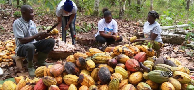 Making Ghana's cocoa plantations more sustainable, and more productive